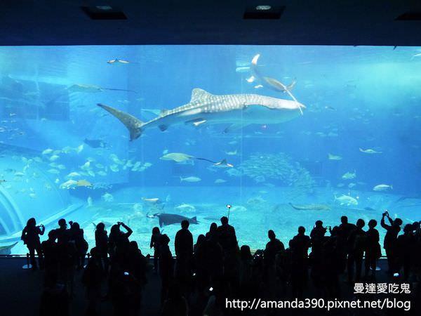 【沖繩景點】國頭郡 美麗海水族館 ● 徜徉在水藍色海底世界 ❤❤